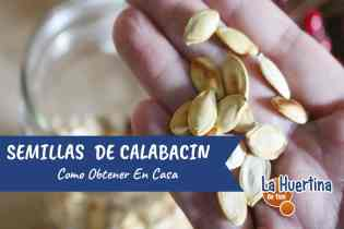 Como Conseguir Semillas De Calabacin