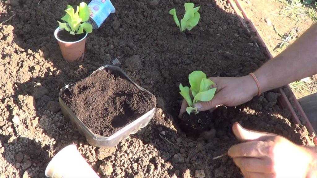 Como plantar lechugas en el huerto la huertina de toni for Asociacion cultivos huerto urbano