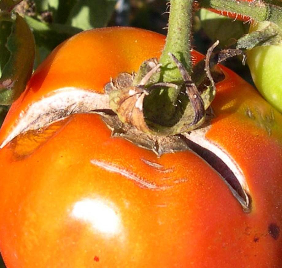 Porque se rajan los tomates