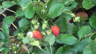 Cuidados Y Riegos Del Cultivo De Las Fresas
