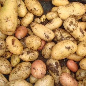 Como Conservar las patatas del huerto más tiempo