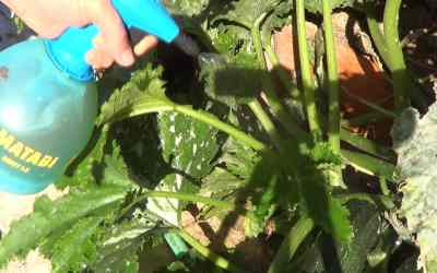 Fungicida Casero Para Combatir Hongos Con Cola De Caballo