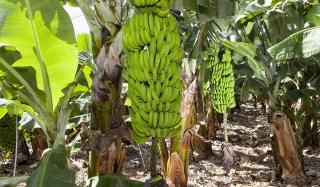 Plagas y Enfermedades del Cultivo del Plátano y como Combatirlas