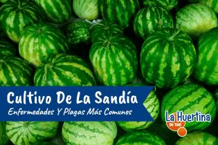 Enfermedades Y Plagas Mas Comunes Del Cultivo De La Sandia