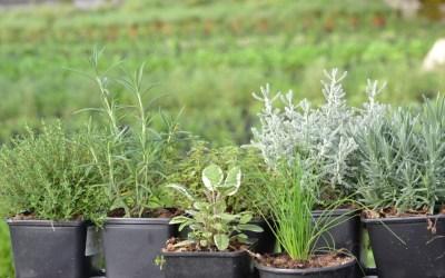 5 Aromáticas Que Podemos Cultivar Dentro De Casa En Invierno