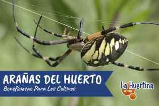 Arañas Inofensivas más Comunes en la Huerta