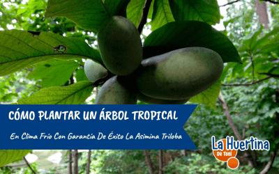 Cómo plantar un árbol tropical en clima frío con éxito: El cultivo de la Asimina triloba.