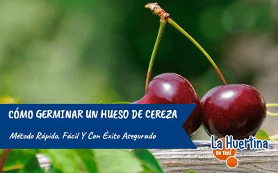 Cómo germinar un hueso de cereza, paso a paso, sin fallo.