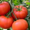 tomato Online Vegetable in Kathmandu Nepal.