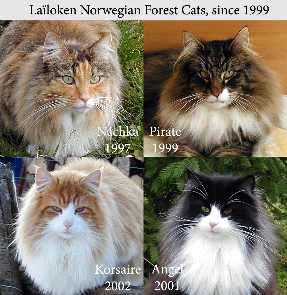 lailoken s norwegian forest