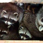 Especies Invasoras: Los Mapaches de Doñana