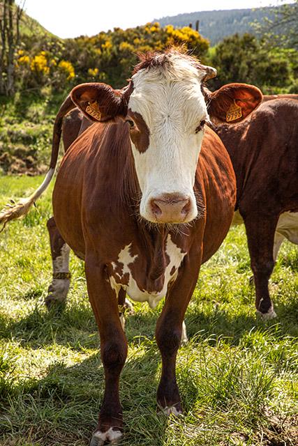 Les vaches de nos producteurs