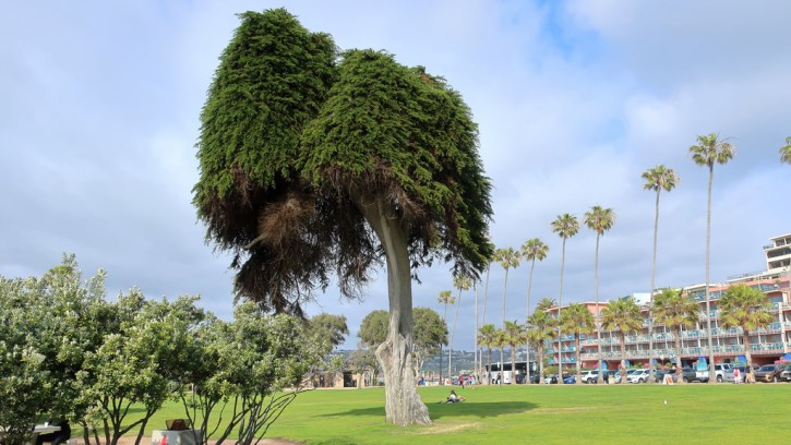 The 'Truffula Tree' a.k.a The 'Lorax Tree' prior to it's collapse in June of 2019.