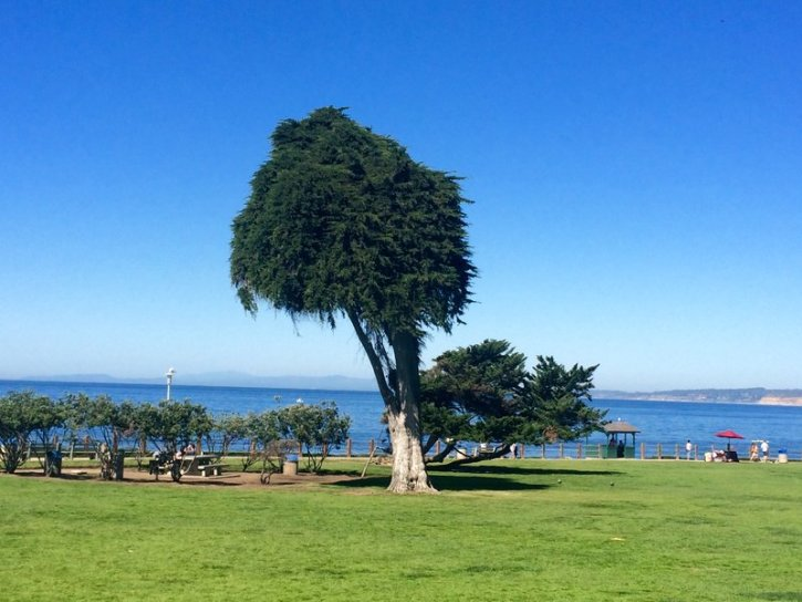 The 'Truffula Tree' a.k.a The 'Lorax Tree' overlooking the coves of La Jolla prior to it's collapse in June of 2019.