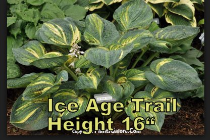 Ice Age Trail hosta