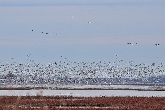 Snow Geese at Goose Pond Fish & Wildlife Area, Linton IN