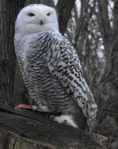 "Unscheduled ""Flash"" Field Trip to Lakefront & Snowy Owl Search @ Waukegan Beach - Start at | Waukegan | Illinois | United States"