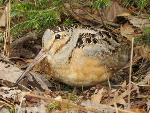 Woodcocks in Lake Bluff @ Lake Bluff Open Lands' Skokie Valley Reserve | Lake Bluff | Illinois | United States