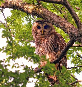 Daytime Owl Prowl @ Captain Daniel Wright Woods - Registration Required | Libertyville | Illinois | United States