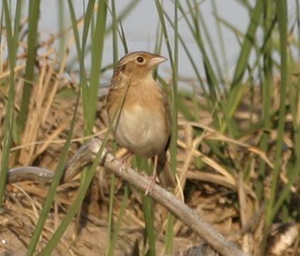 Grasshopper Sparrow - Photo by Carla Schmakel