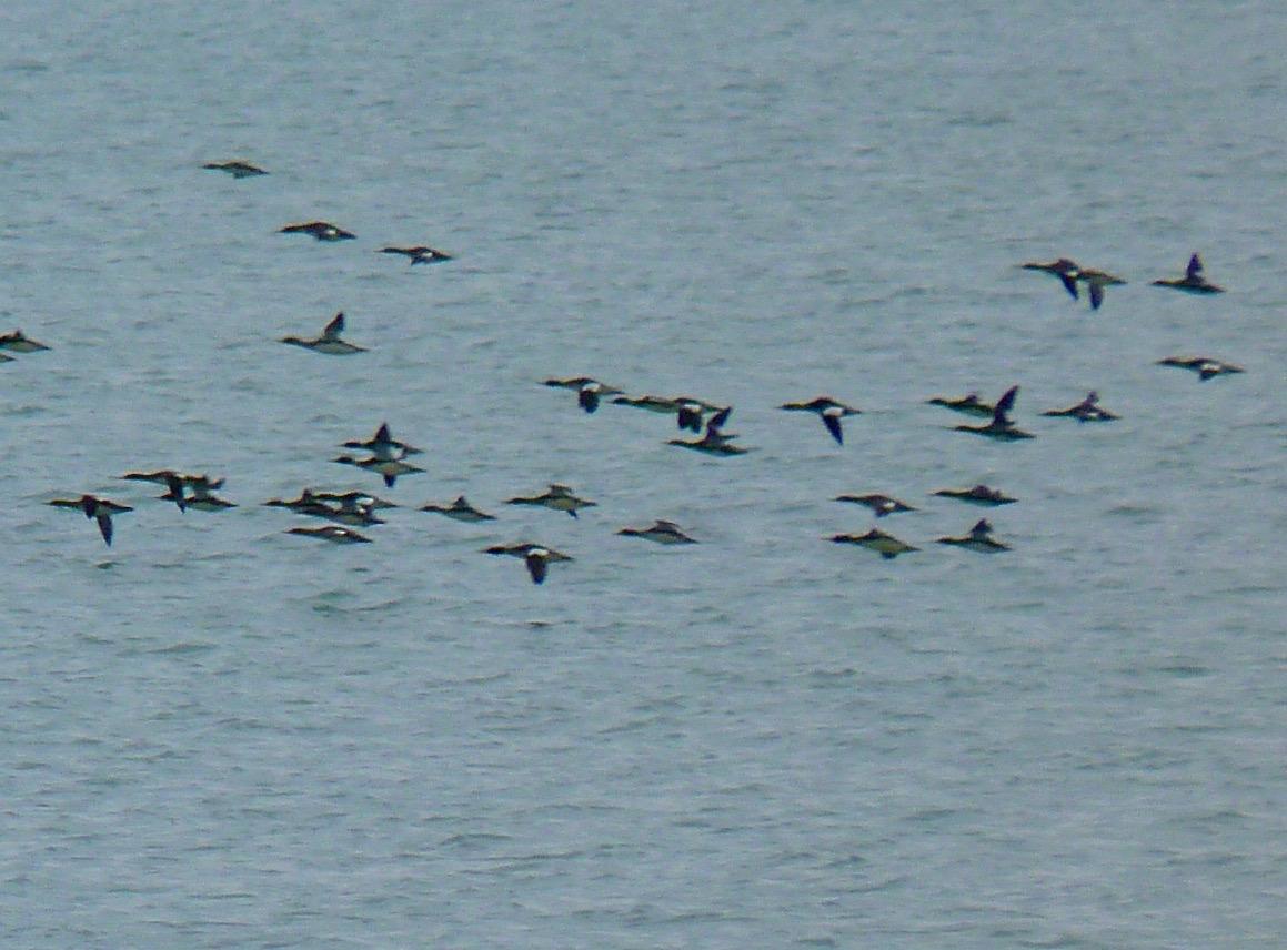 Merganser in flight on Lake Michigan