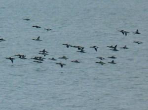 Ducks on Lake Michigan @ Illinois Beach State Park - North Unit