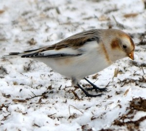 Flash Event! - Winter Specialty Birding @ TBD