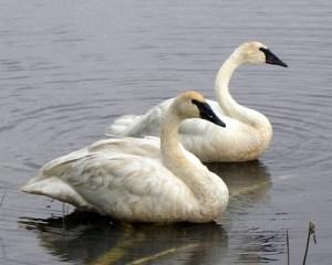 Bringing Back the Trumpeter Swan @ Online - Zoom