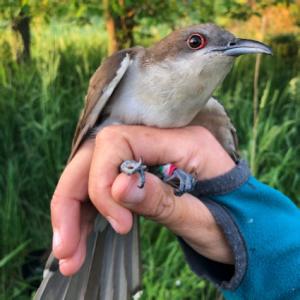 The Secret Life of Cuckoos @ Zoom Meeting