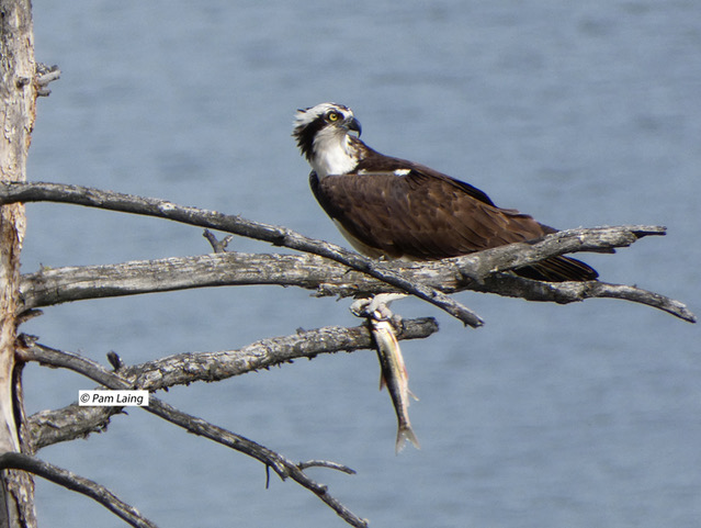 Osprey female with a fish