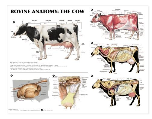 horse skeleton diagram labeled electrical for grasshopper 721d bovine anatomy chart cow