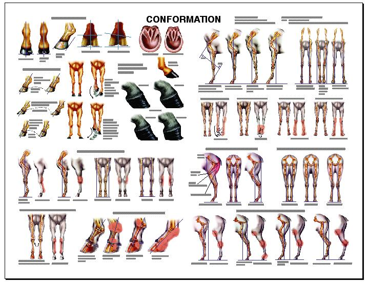 Image result for horse conformation
