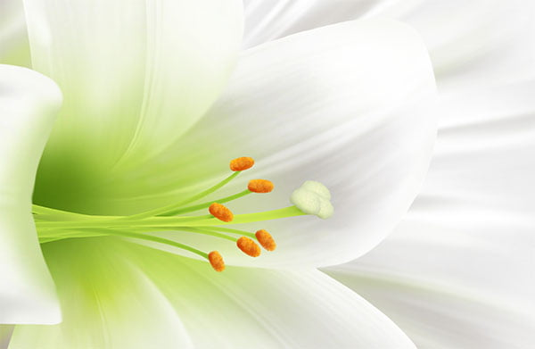 fbc_easter_lily-01