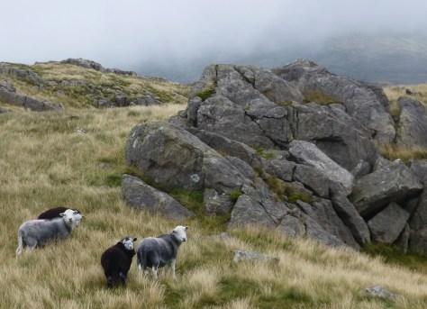 Herdie ewes and lambs on Harter Fell