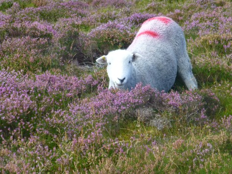 Herdwick grazing among the heather
