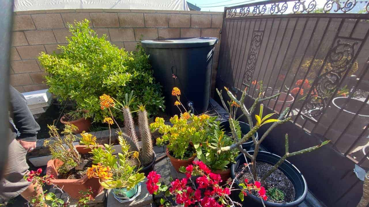 Use Koi Pond Water On Your Home Vegetables And Herbs Lmi