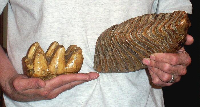 Molar de mastodonte (izquierda) y mamut (derecha)