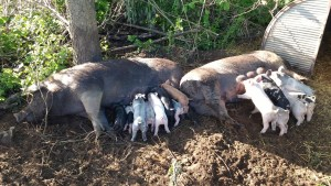Piglets litters: born one week apart