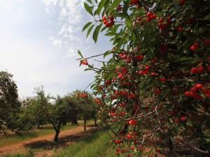 Joyfield Township cherry orchard
