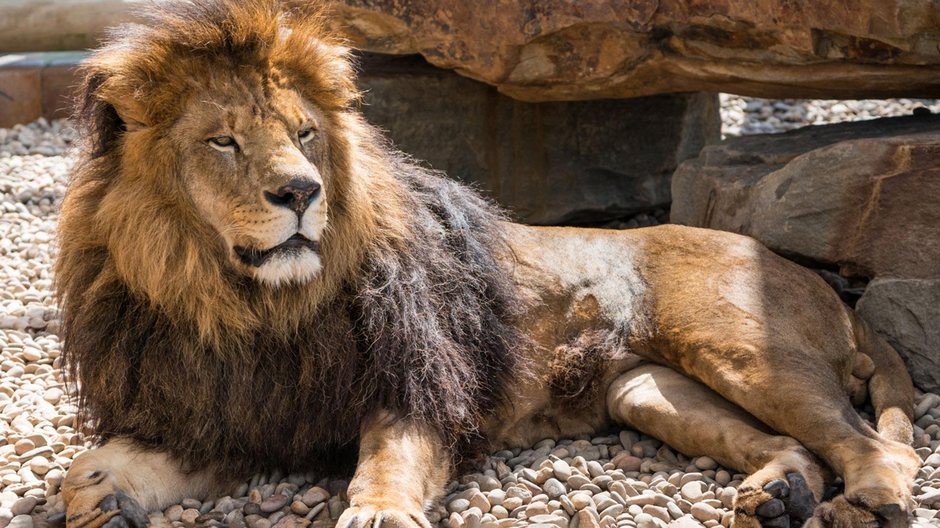 African lion at Lake Tobias Wildlife Park