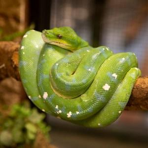 Green tree python at Lake Tobias Wildlife Park