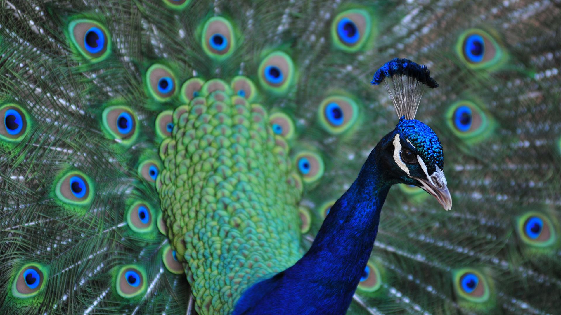 Peacock feathers at Lake Tobias Wildlife Park