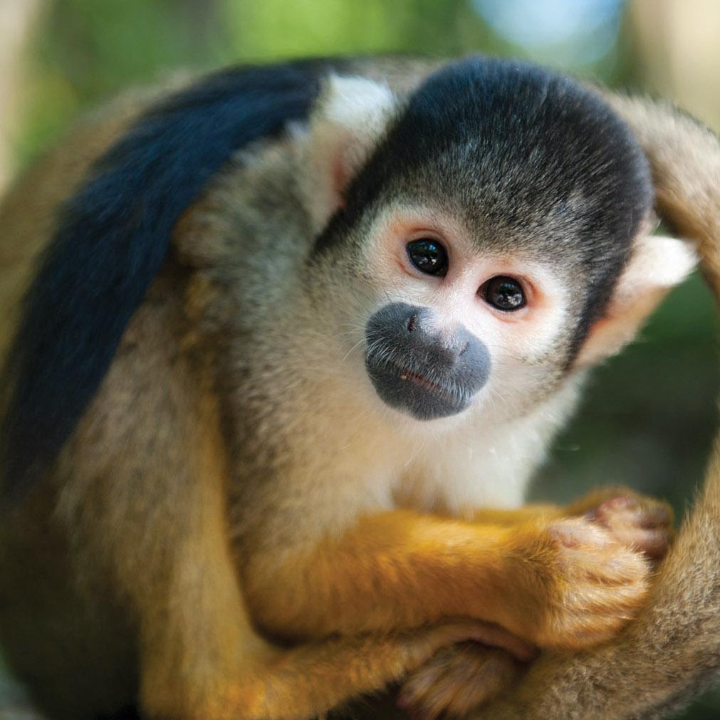 Squirrel monkey at Lake Tobias Wildlife Park