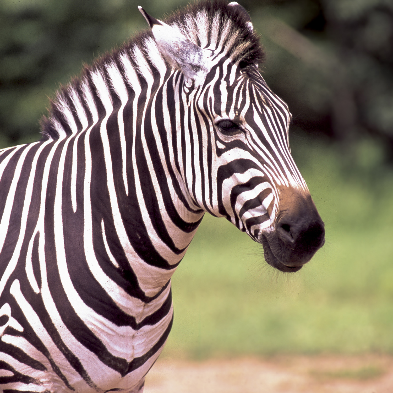 Zebra at Lake Tobias Wildlife Park