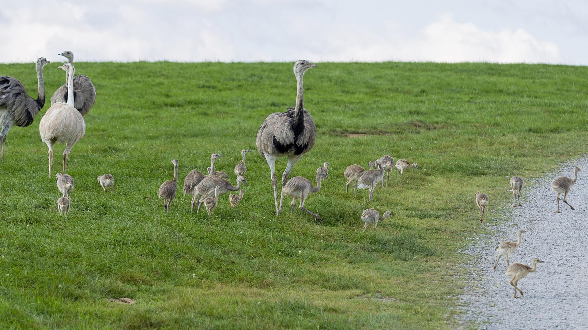 Rhea and babies at Lake Tobias Wildlife Park