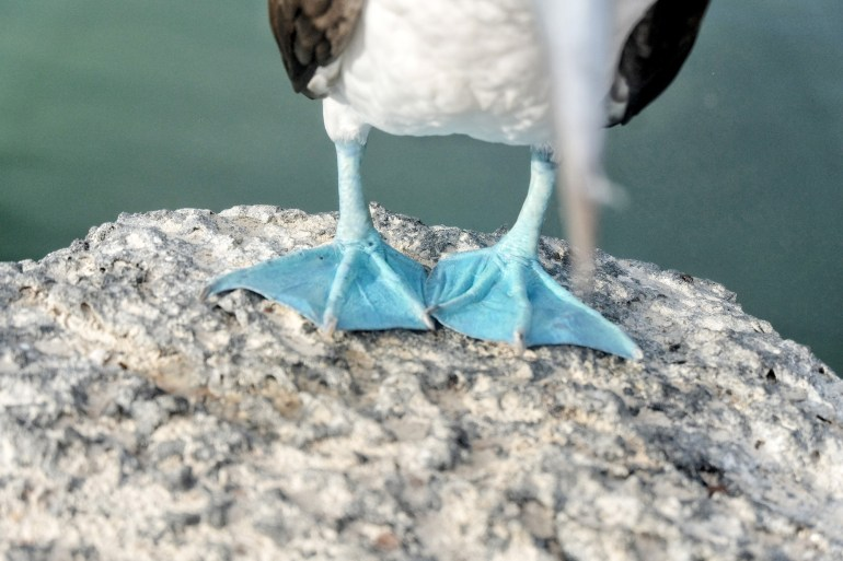 De pootjes van een blue footed booby