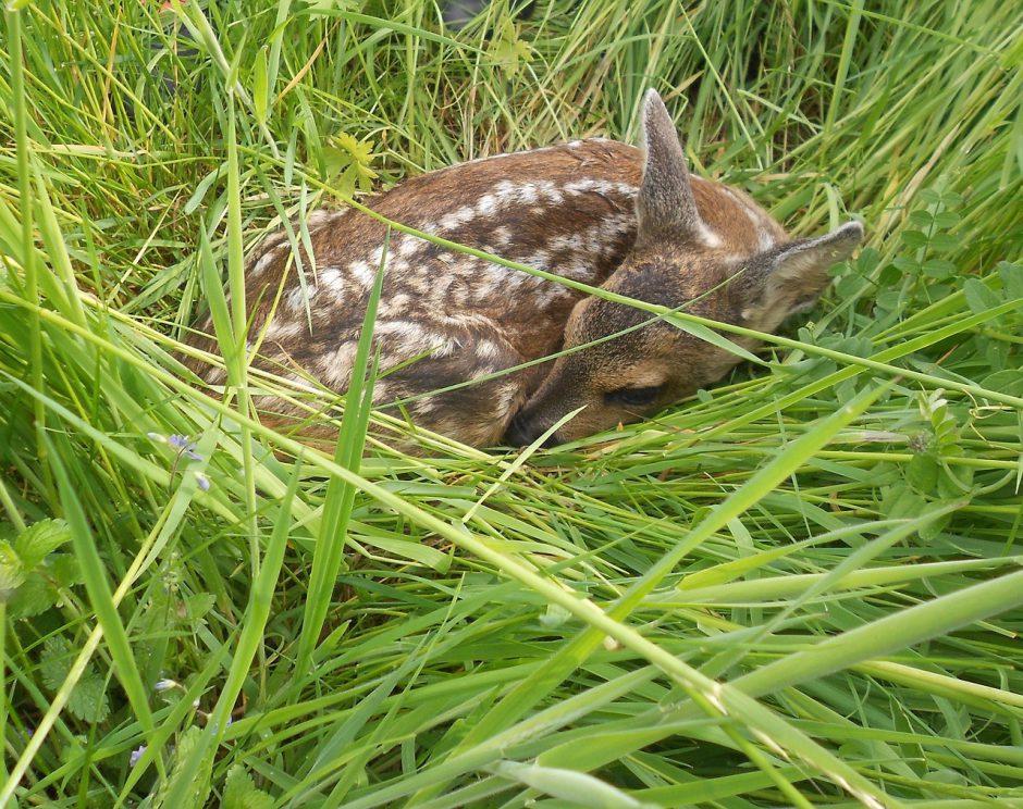 Rehkitz im Gras 940x744 - Waldbewohner: Das Reh