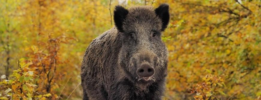 Waldbewohner: Das Schwarzwild (Wildschwein) via @treierp