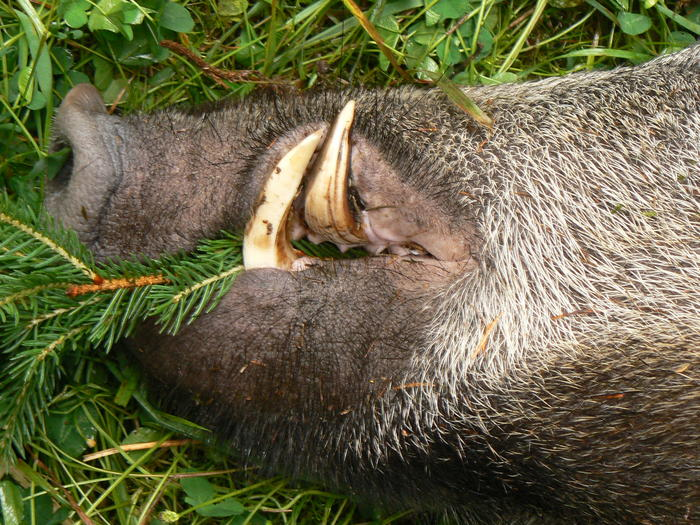 Waldbewohner: Das Schwarzwild (Wildschwein)