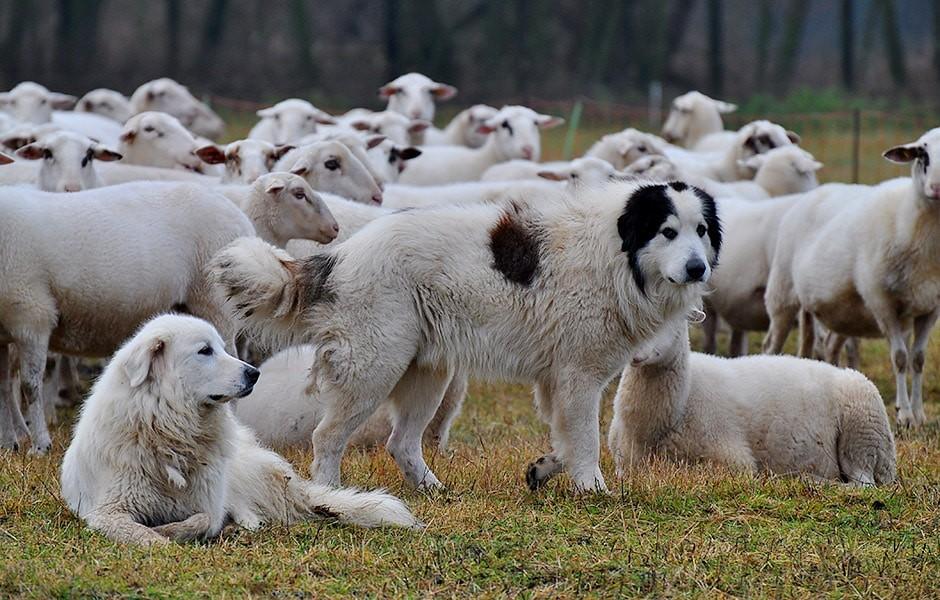 05 Huetehund - Herdenschutz oder was tun wenn der Wolf kommt...